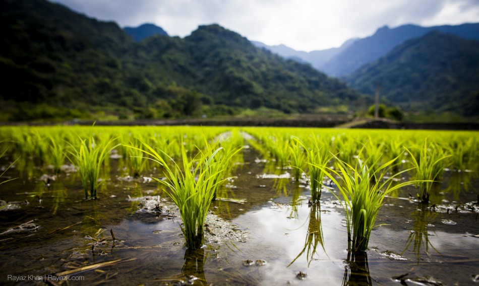 Rice in a rice field